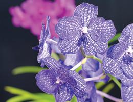 Orchids_SPOT
