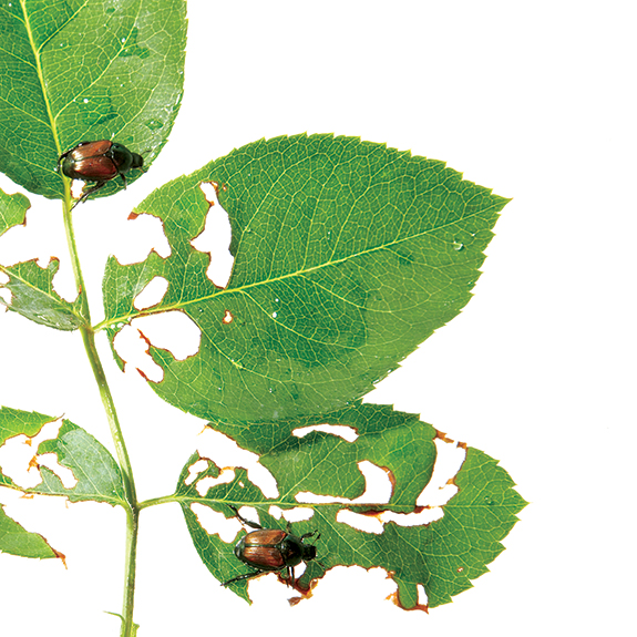 Japanese beetles may be ugly and gross, especially if you take your shirt off to do some gardening and when you put it back on you find several of them have occupied it, but they mostly just cause leaf damage.