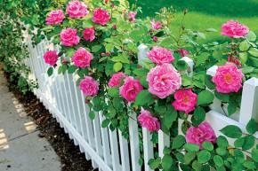 A healthy shrub rose.