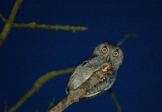 Screech owl fledglings