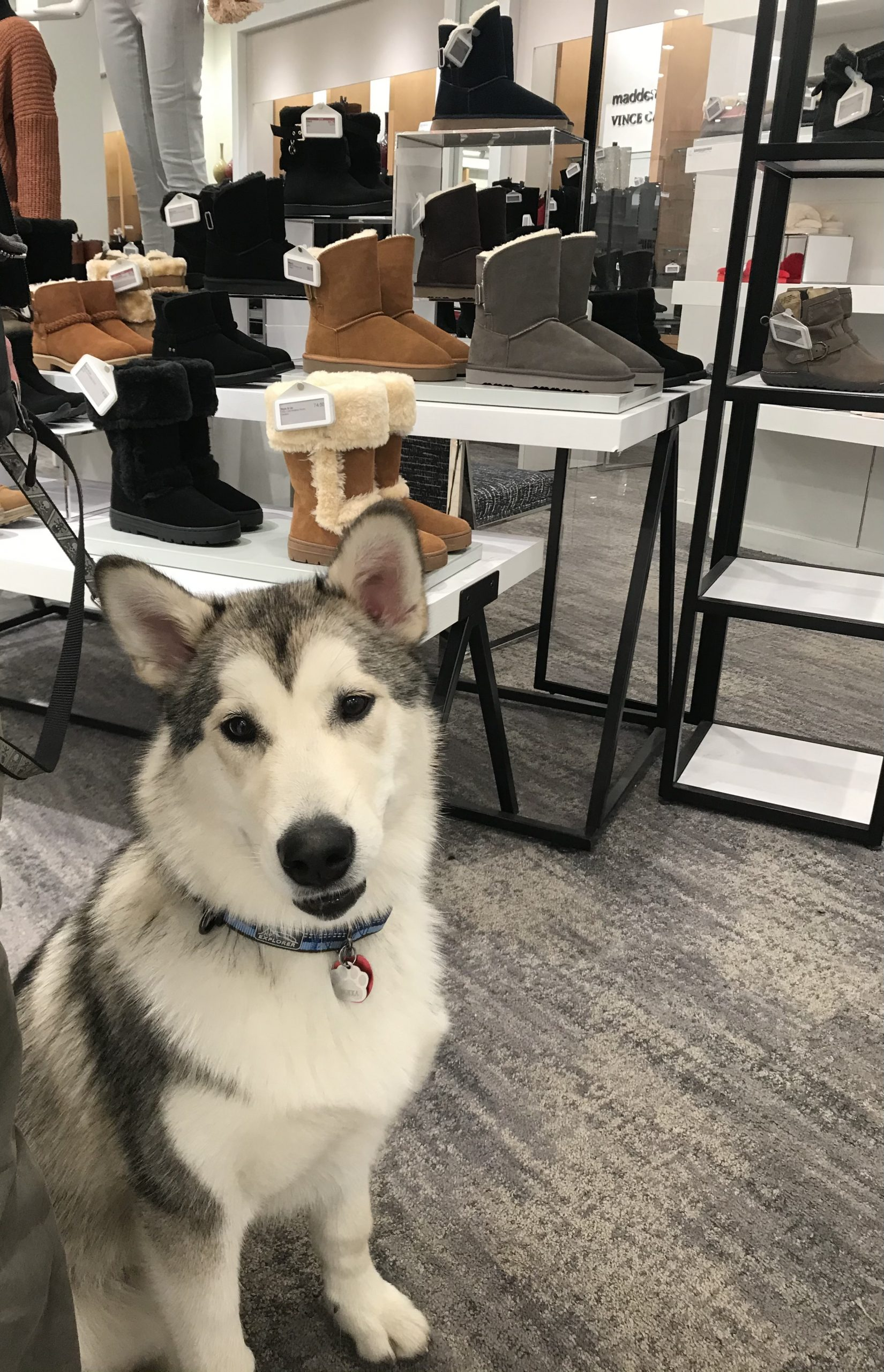 A black and white Alaskan Malamute named Nukka sits in front of a display of winter boots in Macy's.