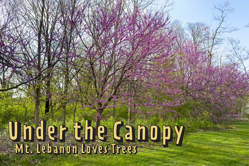 """Redbud trees lined up next to a road with the title """"Under the Canopy, Mt Lebanon Loves Trees"""