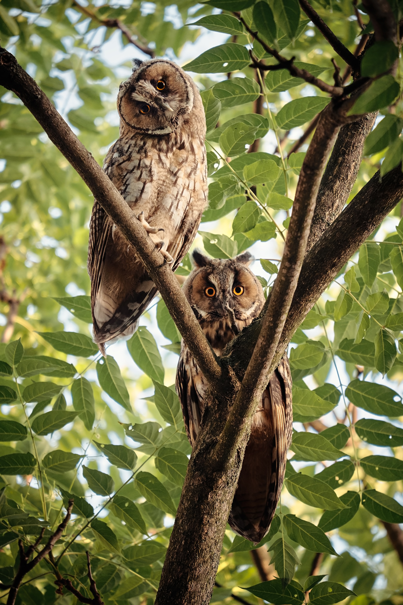 Two owls sitting in a tree