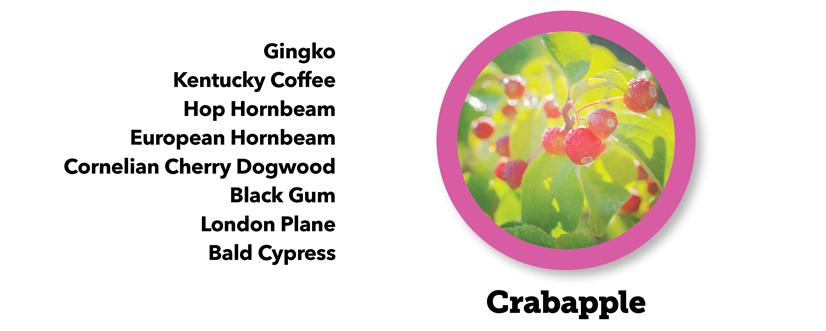 A closeup picture of a Crabapple tree with a list... Gingko, Kentucky Coffee, Hop Hornbeam, European Hornbeam, Cornelian Cherry Dogwood, Black Gum, London Plane, Bald Cypress
