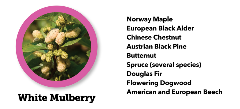 Picture of a White Mulberry tree with a list...Norway Maple, European Black Alder,, Chinese Chestnut, Austrian Black Pine, Butternut, Spruce (several species), Douglas Fir, Flowering Dogwood, American and European Beech